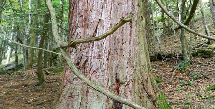 sequoias emilia romagna