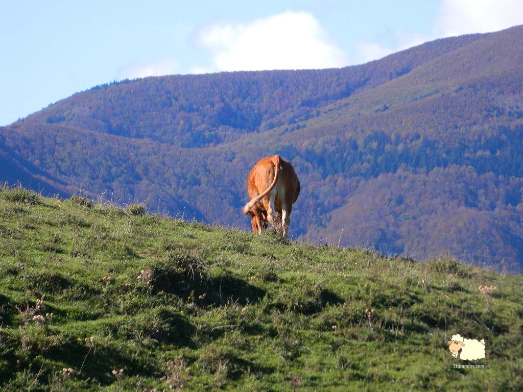 campigna cows