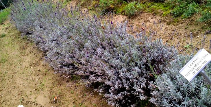 lavender in casola valsenio emilia romagna